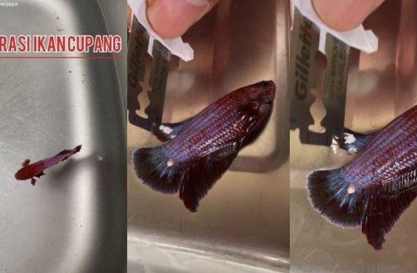 VIRAL Video Pria Operasi Ikan Cupang karena Ada Kutil di Sirip, Berikut Proses yang Dilakukan